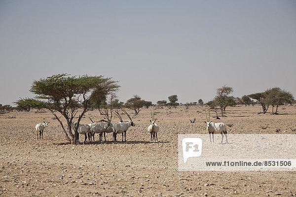 Herde Arabische Oryx (Oryx leucoryx)  Oman