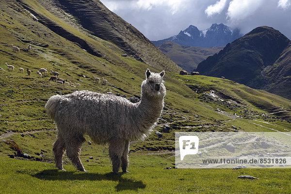 White Llama in the Andes  Ollantaytambo  near Cusco  Peru