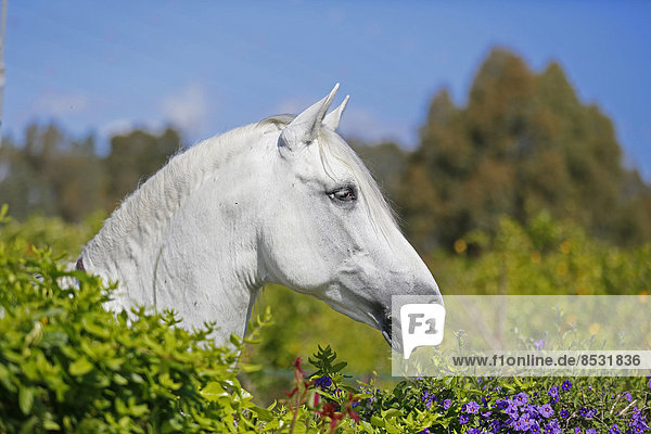 Andalusian horse  looking over a hedge with flowers  Cartama  Spain