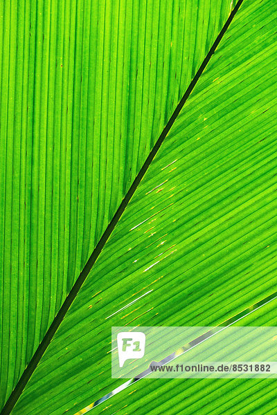 Palm leaf  Maldive Coconut or Coco de Mer (Lodoicea maldivica)  an endemic species of palm tree  Seychelles