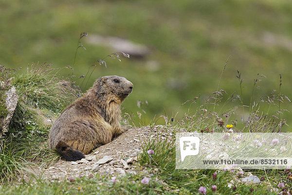 Murmeltier (Marmota marmota) sitzt vor seinem Bau  Zillertal  Tiroler Unterland  Tirol  Österreich