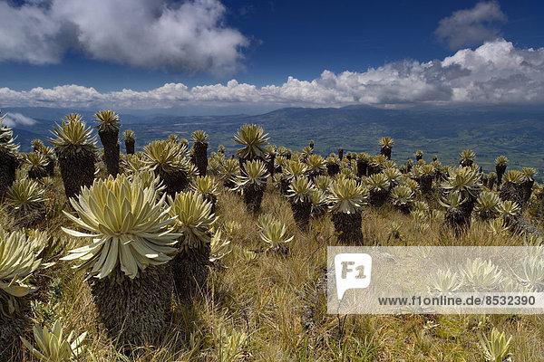 Frailejones-Pflanzen (Espeletia pycnophylla) in Paramo-Landschaft  Guandera  Imbabura  Ecuador