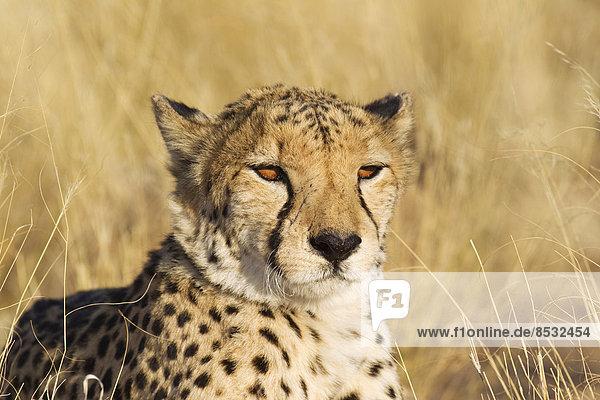 Gepard (Acinonyx jubatus)  Männchen  captive  Namibia