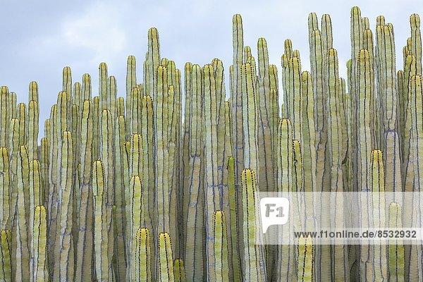 Kanaren-Wolfsmilch  Euphorbia canariensis  Teneriffa  Kanarische Inseln  Spanien
