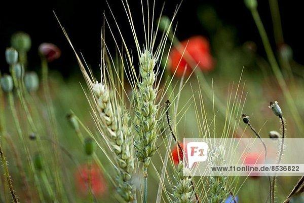 Weizenfeld mit Mohnblumen (Ausschnitt)