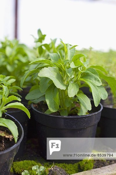 Stevia in schwarzen Plastiktöpfen