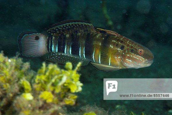Grundel  Gobiidae  Tauchgang  Indonesien  Sulawesi
