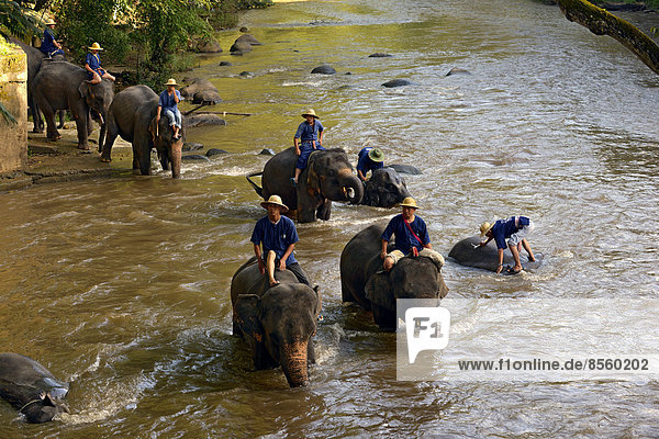 Mahouts bathing their Asian or Asiatic Elephants (Elephas maximus) in the Mae Tang River  Maetaman Elephant Camp  Chiang Mai Province  Northern Thailand  Thailand