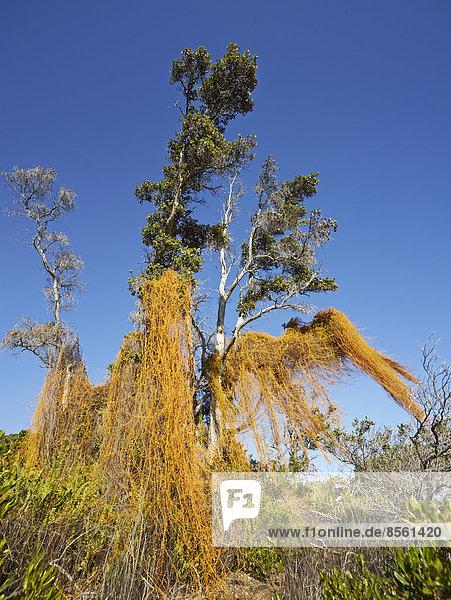 Baum im Volcano National Park  Big Island  Hawaii  USA