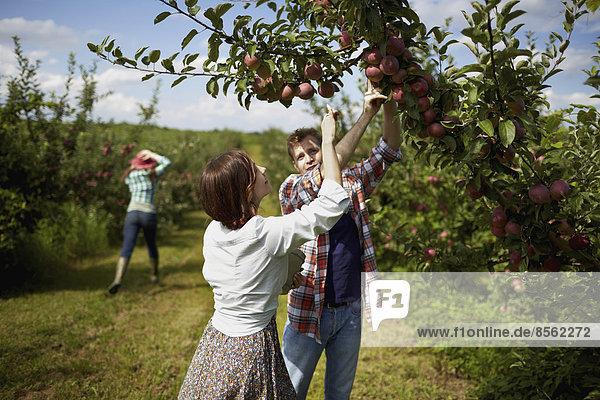 Reihen von Obstbäumen in einem biologischen Obstgarten. Eine Gruppe von Menschen pflückt die reifen Äpfel.