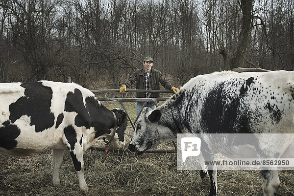 Ein kleiner biologischer Milchviehbetrieb mit einer gemischten Herde von Kühen und Ziegen. Landwirt  der arbeitet und sich um die Tiere kümmert.