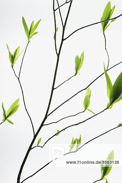 Muster führen grün Wachstum Ast Mittelpunkt Zweig schlank auftauchen Schnittmuster