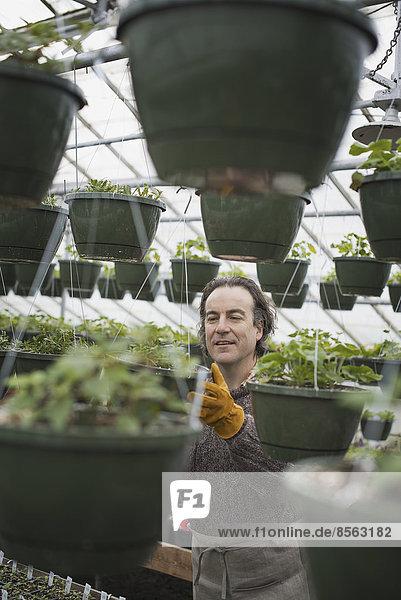 Frühlingswachstum in einer biologischen Pflanzenschule. Ein Mann in einem Gewächshaus  der Container pflanzt.