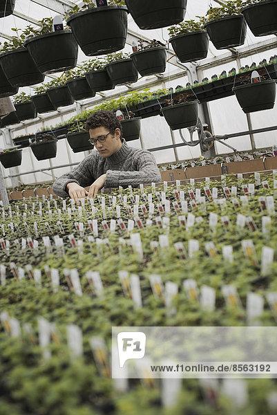 Frühlingswachstum in einem Gewächshaus einer biologischen Baumschule. Ein Mann kontrolliert Reihen von Sämlingen und jungen Pflanzen.