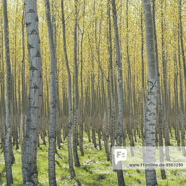 Reihen von kommerziell angebauten Pappelbäumen auf einer Baumfarm in der Nähe von Pendleton  Oregon. Helle Rinde und gelbe und grüne Blätter.