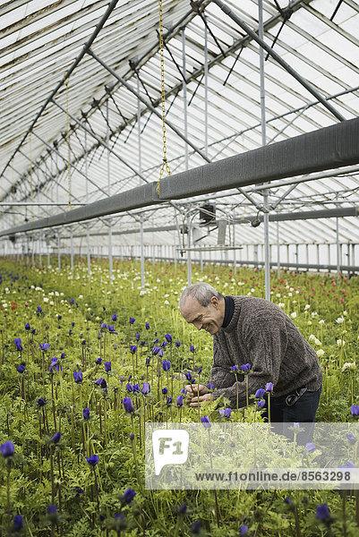 Ein Mann  der im zeitigen Frühjahr in einem Gewächshaus einer biologischen Baumschule arbeitet.