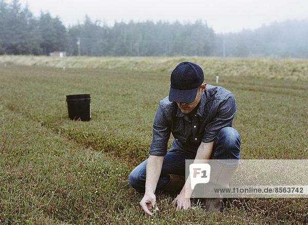 Eine Preiselbeerfarm in Massachusetts. Kulturen auf den Feldern. Ein junger Mann arbeitet auf dem Land und erntet die Ernte.
