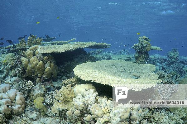 Korallenriff im Ras-Mohammed-Nationalpark  Sinai-Halbinsel  Sharm el-Sheikh  Rotes Meer  Ägypten