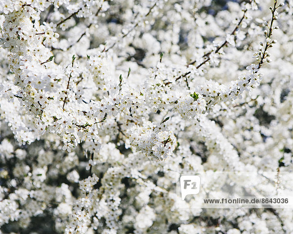 Blühende Zierkirschenbäume. Weiße  schaumige Blüte. Frühling in Seattle.