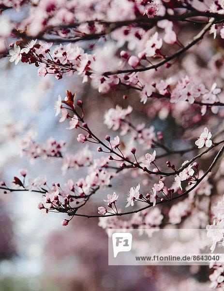 Blühender Zierpflaumenbaum. Rosa Blüte auf den Zweigen. Frühling in Seattle