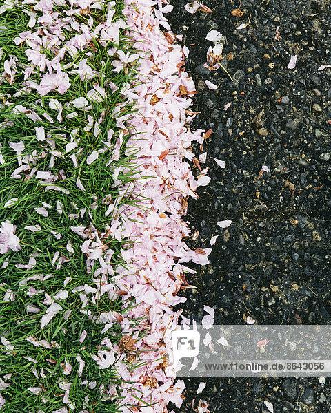 Rosafarbene  herabgefallene Kirschblütenblätter wehten über den Fußgängerweg und sammelten sich im Frühjahr auf dem Gras in Seattle.