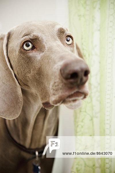 Eine Rasse mit Stammbaum  ein Weimaraner-Hund im Duschraum  der sich hinter einem Duschvorhang versteckt. Eine Rasse mit Stammbaum, ein Weimaraner-Hund im Duschraum, der sich hinter einem Duschvorhang versteckt.