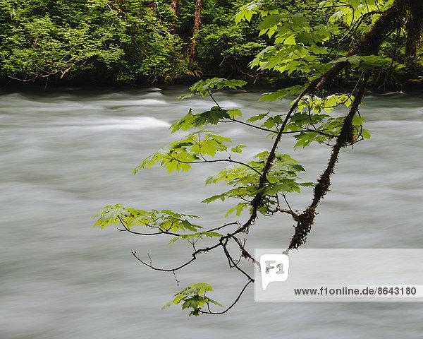 Großblättriger Ahornbaum (Acer macrophyllum) und Dosewallips River  Olympic NP