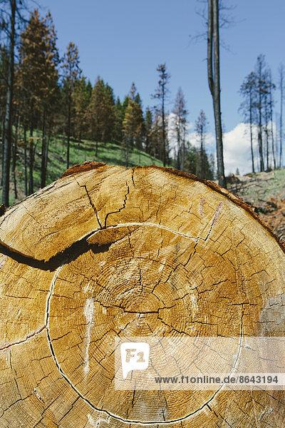 Querschnitt einer gefällten Ponderosa-Kiefer im kürzlich abgebrannten Wald (vom Tafelbergbrand 2012)  Okanogan-Wenatchee NF  in der Nähe des Blewett-Passes