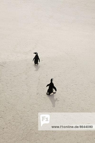 Zwei Pinguine auf Sand  Simon's Town  Südafrika