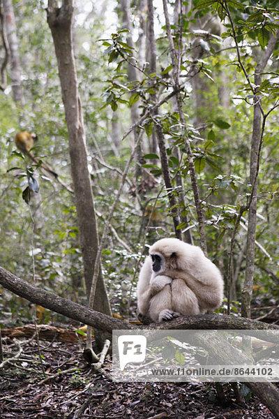 Affe sitzend auf Ast  Plettenberg Bay  Südafrika