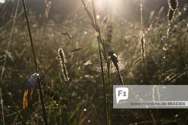 Eine Libelle im Sommer
