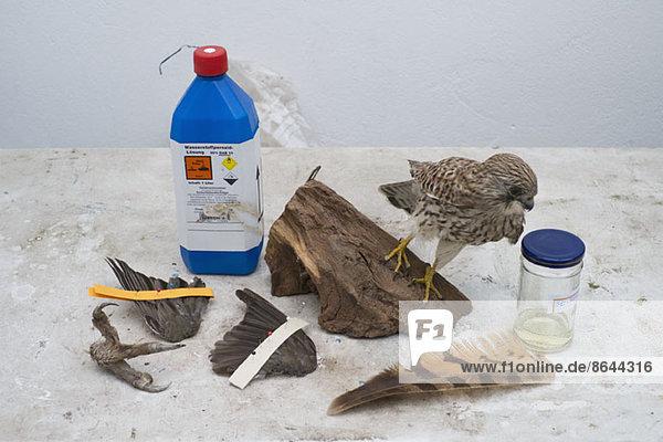 Ein ausgestopfter Vogel mit verschiedenen Werkzeugen für die Taxidermie