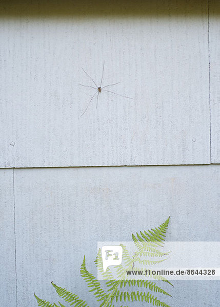 A Daddy Long Legs Spinne an der Wand über Farn  Nahaufnahme