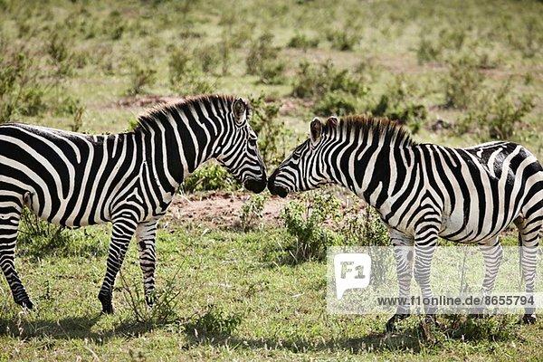 Zwei Zebras von Angesicht zu Angesicht  Masai Mara  Narok  Kenia  Afrika