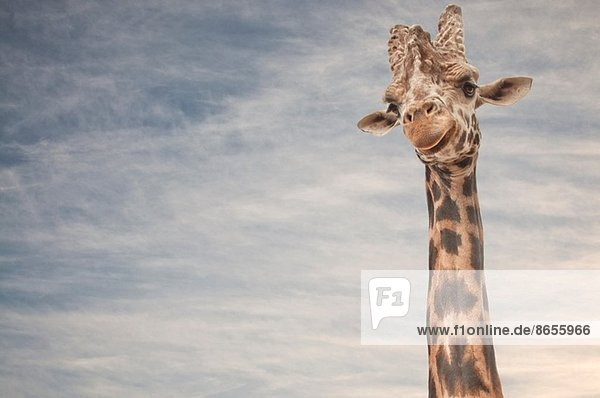 Nahaufnahme von Giraffe Nahaufnahme von Giraffe