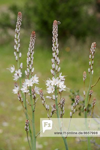 Weißer Affodill (Asphodelus albus)  Provence  Südfrankreich  Frankreich