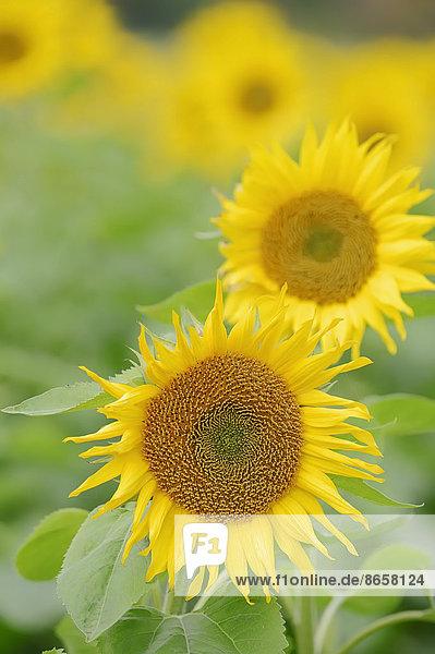 Sonnenblumen (Helianthus annuus)  Nordrhein-Westfalen  Deutschland