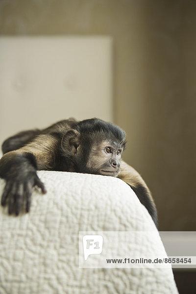 Ein Kapuzineraffe  der auf einem Bett liegt. Ein Kapuzineraffe, der auf einem Bett liegt.