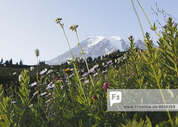 Blick auf Mount Rainier im Mount Rainier-Nationalpark. Eine Wildblumenwiese im Vordergrund.
