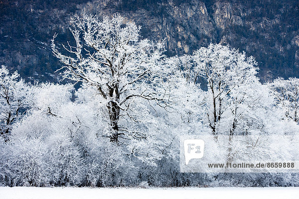 Oak forest covered with hoarfrost  North Tyrol  Austria