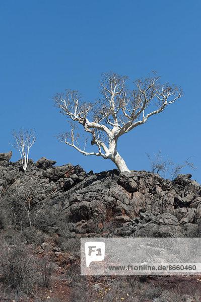Blattloser Baum auf einem Felsgrat  Region Kunene  Namibia