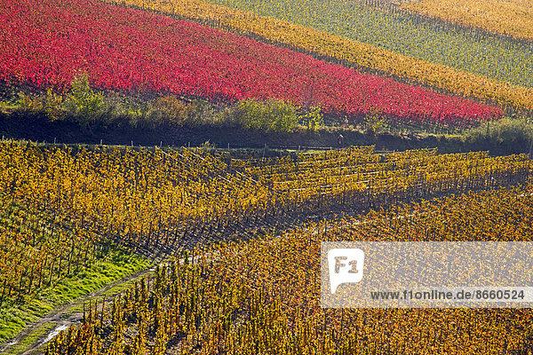 Weinberge im Herbst  Mayschoß  Rotweinanbaugebiet Ahrtal  hier wird Rotwein der Spätburgunder und Portugieser Traube angebaut  Eifel  Rheinland-Pfalz  Deutschland