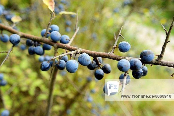 Schwarzdorn  Prunus spinosa  Frucht  Close-up  close-ups  close up  close ups  Pflaume