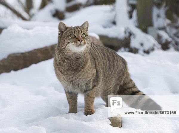 Wildkatze (Felis silvestris) steht im Schnee  captive  Thüringen  Deutschland