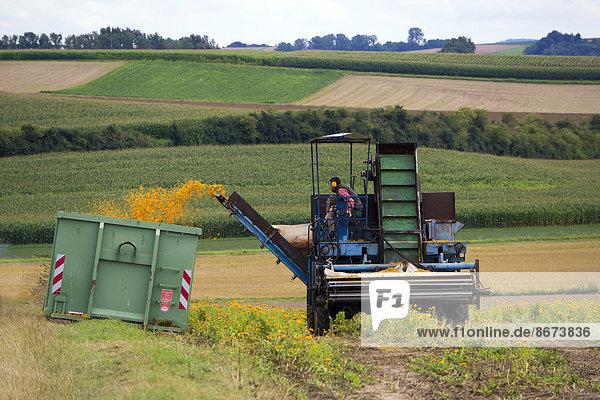 Maschinelle Ernte von Ringelblumen (Calendula officinalis)  Hessen  Deutschland