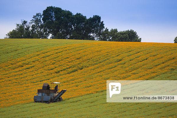 Mechanical harvest of Marigold or Calendula flowers (Calendula officinalis)  Hesse  Germany