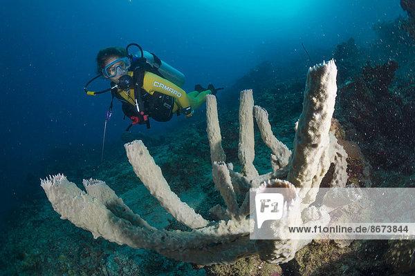 Taucher betrachtet einen riesigen Kannenschwamm oder Faserschwamm (Callyspongia sp.)  Philippinen