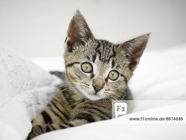 Kätzchen entspannt in Decken Kätzchen entspannt in Decken
