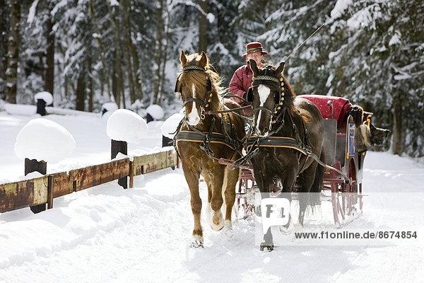 Pferdeschlitten mit Welsh Ponys im Winter  Schlittenfahrt  Söll  Tirol  Österreich