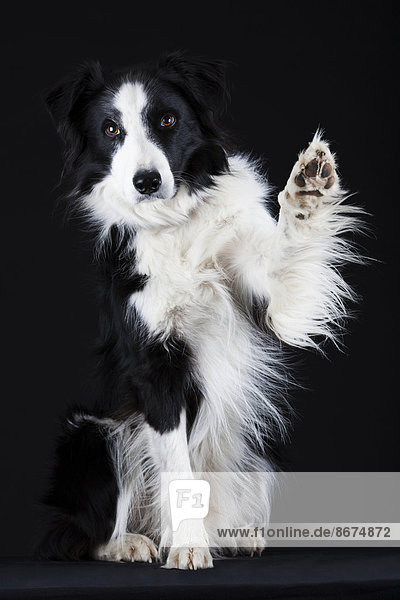 Border Collie  black and white  waving with its paw